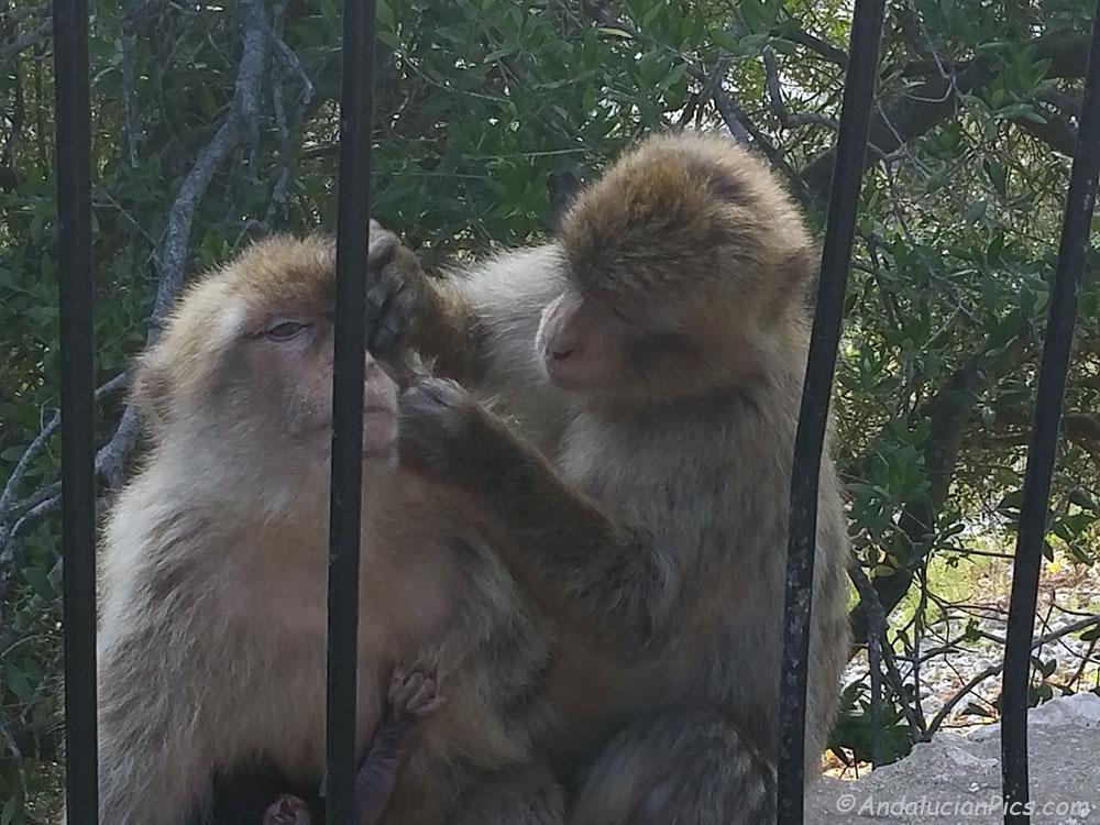 Monkeys Gibraltar